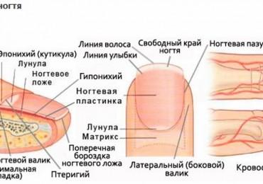 Строение ногтя или почему ваши ногти не дышат